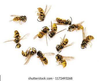 Dead common wasps (Vespula vulgaris) isolated on completely white background