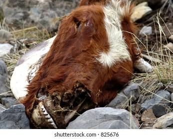 Dead cow head