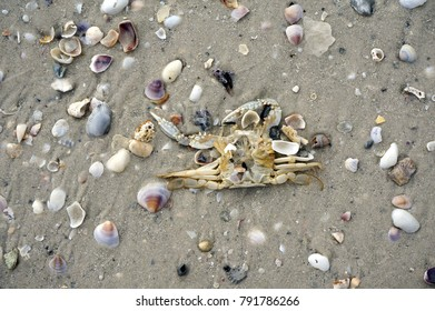 A dead crab lays on seashells on a sandy beach after a storm on the Gulf of Mexico at St. Pete Beach, Florida