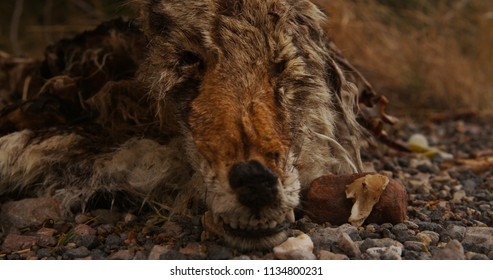 A Dead and Decayed Coyote / Canine / Animal / Mammal in Western America