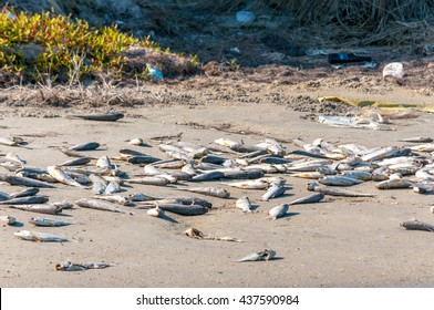 Dead and decaying fish litter the sandy shore as a result of a red tide algal bloom.