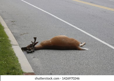 Dead deer by the side of the road. Roadkill the result of overpopulation in a residential area.
