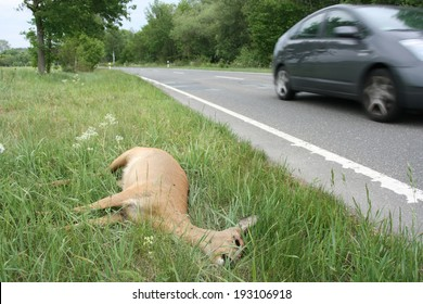 Dead deer on a country road