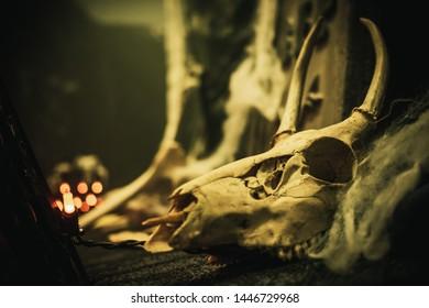 Dead Deer skull used for Halloween decoration.