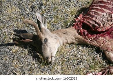 Dead deer that has been partially eaten