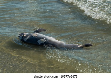A Dead Dolphin Carried by Waves to the Beach