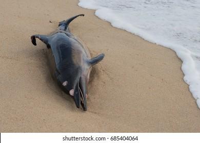 Dead dolphin fish at sandy beach, pollution
