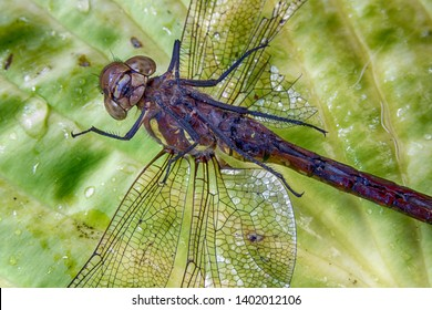 Dead dragonfly with broken legs lying upside down on a leaf