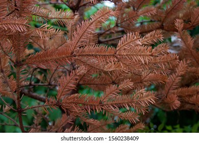 Dead dry fir christmas tree branches with brown leaves after the holidays. Out of focus and blurred green background of plants