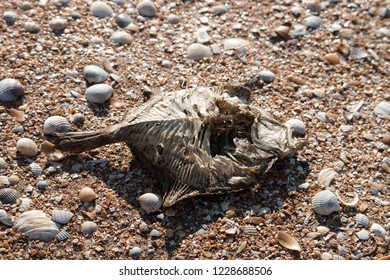 Dead dry fish (flounder, Platichthys, demersal fish) on a seashell (cockle, Cardiidae) beach by the Black sea, supralittoral