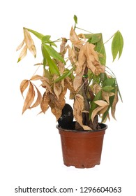 Dead and dry houseplant in pot isolated on white background. It was Pachira aquatica, aka Money Tree.