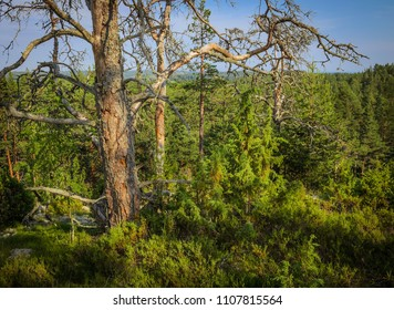 dead dry pines in the forest