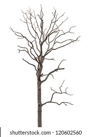 Dead and dry tree is isolated on white background
