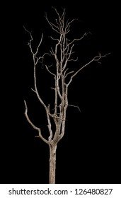 Dead and dry tree is isolated on black background