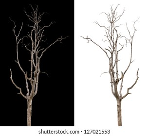 Dead and dry tree is isolated on black and white background