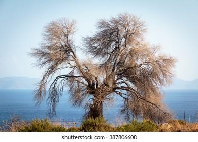 Dead dry tree on the seashore