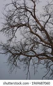 Dead dry tree in the village