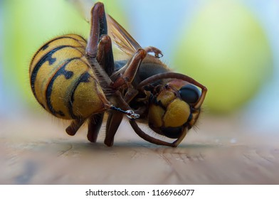 Dead european hornet still poisonous