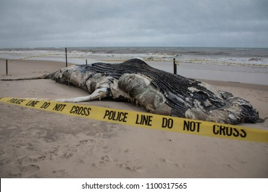 Dead Female Humpback Whale including Tail and Dorsal Fins on Fire Island, Long Island, Beach with Police Do Not Cross Tape Barrier