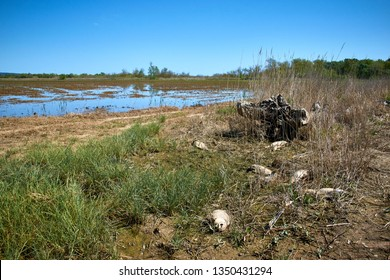 Dead fish bodies on spanish countryside meadow rice plantation. Dry plantation. Costa Brava, Girona. Les Basses d'en Coll. Rice muddy agriculture dead fauna. Death, contamination, Global warming.