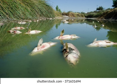 Dead fish images stock photos vectors shutterstock dead fish carp float to the surface of the water in this polluted channel publicscrutiny Images