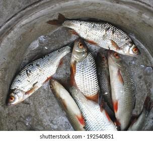 dead fish up close