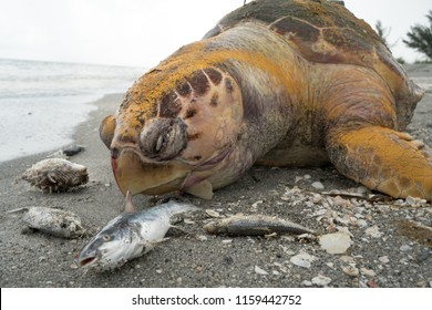 Dead fish and an Endangered Loggerhead Turtle due to polluted water from agriculture runoff.