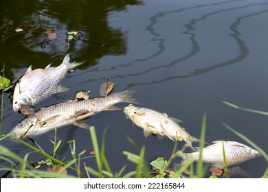 dead fish floated in  the dark water, water pollution (Please see my footage of this photo at  http://www.shutterstock.com/video/video.html?id=11902721 )