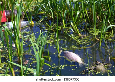 Dead fish floating on the surface of the river, Fish kills, photography