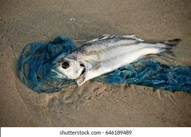 dead fish lying on the shore entangled in a plastic bag