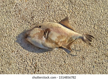 Dead fish on the beach. The fish on the pebbles died and dried up