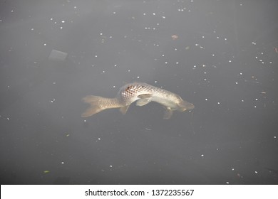Dead fish on a polluted river