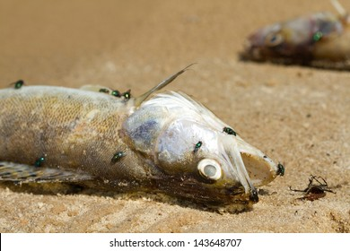 Dead fish on the river
