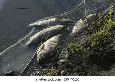 Dead fish on the river. Contamination by chemicals pond.