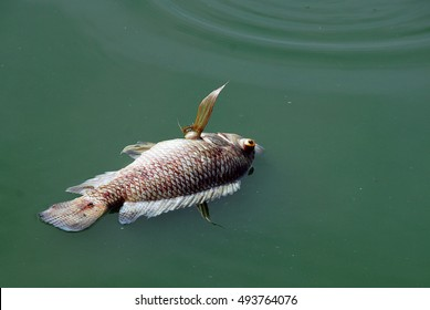 Dead fish in polluted water in the summer.