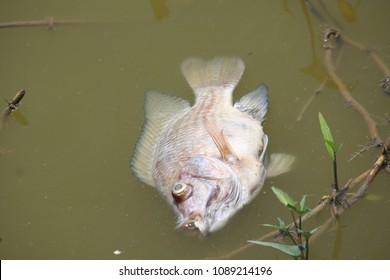 A dead fish in the fish pond.
