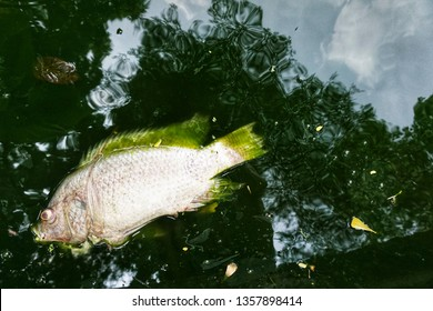 Dead fish in the pond