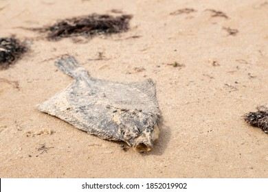 Dead flatfish on the sand at the sea shore. Water pollution, environmental disaster. Dead fish by the coast line.