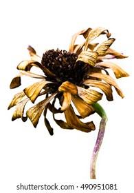 Dead flower on white background