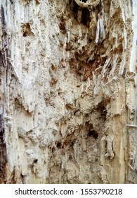 Dead forest destroyed by wood worm. Wood affected with woodworm. Damaged tree trunk close up. wood plank destroyed, eaten by termites. Natural background.