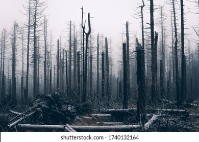 Dead forest in the Harz National Park, Germany