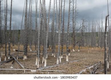Dead Forest near Grand Tetons National Park