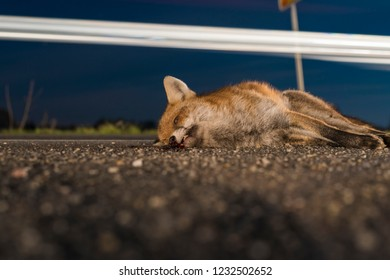 Dead fox in the night