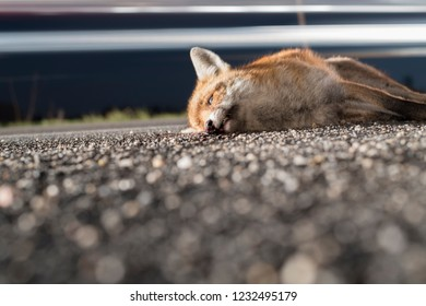 Dead fox in the night at the roadside