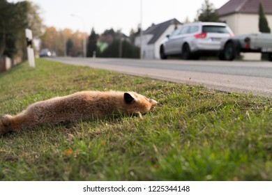 Dead fox at the roadside