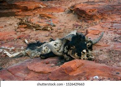 Dead goat on a hike through Kalbarri National Park, Western Australia