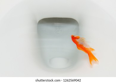 A dead goldfish floating in a toilet. Closeup view.