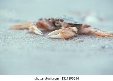 Dead grab, Ameland wadden island Holland