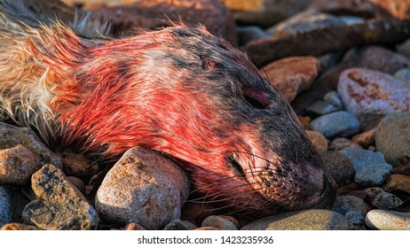 Dead grey seal pup lying on the shore