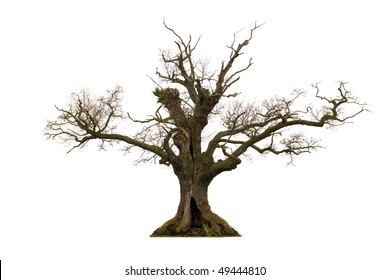 Dead hollow oak tree isolated on white background